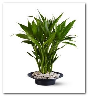 денежный цветок - бамбук
